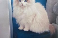 11.-Wystawa-Kotów-kot-nr-11